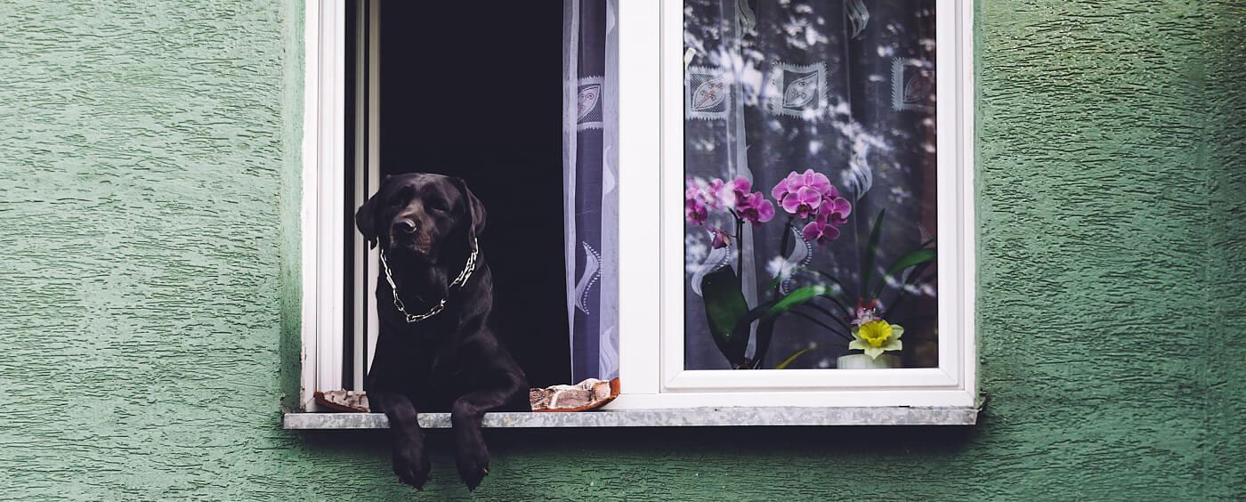 Pes sedící na parapetu okna pozoruje kolemjdoucí